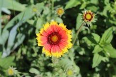 Eine schöne orange Blume hat Blumenblätter gezeigt Lizenzfreie Stockfotos