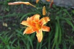 Eine schöne orange Lilie hat Blätter des langen Grüns Lizenzfreies Stockfoto