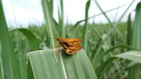 Eine schöne Position der Insektenmotte auf grünen farbigen Blättern lizenzfreies stockfoto
