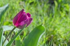 Eine schöne purpurrote Tulpe von Aesculapius-Vielzahl Stockfotos