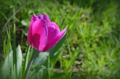 Eine schöne purpurrote Tulpe von Aesculapius-Vielzahl Lizenzfreies Stockbild