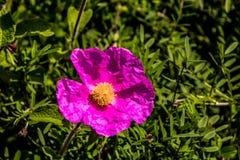 Eine schöne rosafarbene Blume Stockbild
