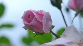 Eine schöne Rosarose, die in einem Garten, Weichzeichnung blüht Lizenzfreie Stockbilder