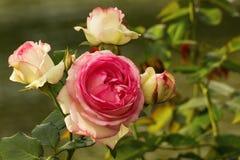 Eine schöne Rose blühte im Garten im Juli Ihre Blumenblätter lagen bei zwei Farben: Rosa und Creme lizenzfreies stockbild