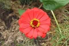 Eine schöne rote Blume in einem Datschagarten Stockfotografie