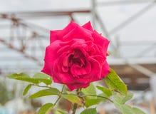 Eine schöne Rotrose Lizenzfreie Stockfotos