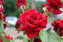 Eine schöne Rotrose blüht auf dem Blumenbeet Lizenzfreie Stockfotos