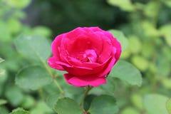 Eine schöne Rotrose hat große Blumenblätter Stockfotografie