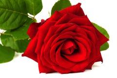 Eine schöne Rotrose lokalisiert auf Weiß Stockbilder