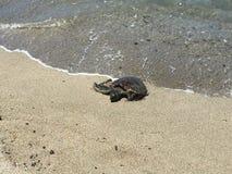 Eine schöne Schildkröte, die aus das Wasser herauskommt Stockfoto