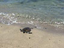 Eine schöne Schildkröte, die aus das Wasser herauskommt Lizenzfreie Stockfotografie