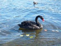 Eine schöne Schwimmen des schwarzen Schwans in einem Teich im Herbst Lizenzfreie Stockfotos