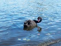 Eine schöne Schwimmen des schwarzen Schwans in einem Teich im Herbst Lizenzfreies Stockfoto