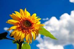Eine schöne Sonnenblume Lizenzfreie Stockfotos