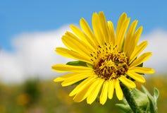 Eine schöne Sonnenblumen-Reichweiten für den Himmel Stockbilder