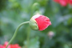 Eine schöne unblown Mohnblumenblumenknospe der hellen hochroten Farbe mit Regentropfen auf einem dünnen Stamm auf einem unscharfe Stockfotografie