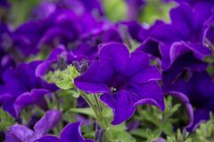 Eine schöne violette Petunie in einem grünen Bodenhintergrund Stockfotografie