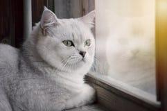 Eine schöne weiße britische Katze mit grünen Augen das stree aufpassend stockfotos