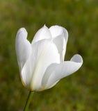 Eine schöne weiße Tulpe - Nahaufnahme Stockfotografie