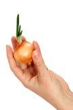 Eine schöne weibliche Hand hält Zwiebel Stockfoto