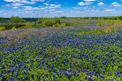 Eine schöne Weitwinkelansicht einer starken Decke von Texas Bluebonnets in Texas Country Meadow mit blauen Himmeln. Stockfotos