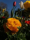 Eine Schönheit mitten in Tulpen Stockbilder