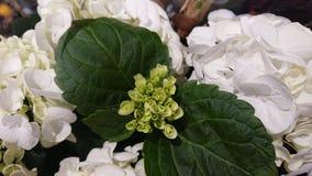 Eine sch?ne Niederlassung einer Buschblume Gr?ne Knospen und wei?e Blumen stockbilder