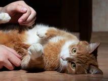 Eine sch?ne rote Katze mit den Schwarzweiss-Streifen, die mit einem Mann auf dem Boden spielen Nahaufnahme Die Katze ist vom Spie lizenzfreie stockfotos