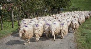 Eine Schafherde Stockbild
