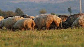Eine Schafherde, die auf der Ebene zwischen den Bergen weiden lässt stock video footage
