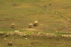 Eine Schafherde, die in einer Wiese weiden l?sst stockfotos