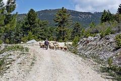 Eine Schafherde, die geführte Sandbahn führt durch den Wald ist stockfotos