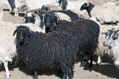 Eine Schafherde, die ZojiLa-Durchlauf, Ladakh, Jammu und Kashmir, Indien kreuzt Lizenzfreie Stockbilder