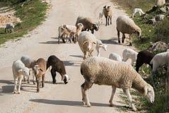 Eine Schafherde an einem Frühlingstag Lizenzfreie Stockfotografie
