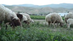 Eine Schafherde lässt auf einem grünen Feld weiden stock footage