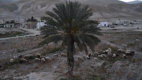 Eine Schafherde lässt auf einem trockenen Feld weiden stock video
