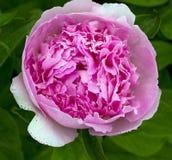 Eine Schale rosa Blumenblätter - Au Naturel Lizenzfreies Stockfoto