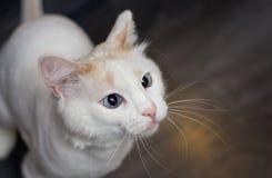 Eine schielende Katze mit blauen Augen mischt sich ein stockfotografie