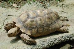 Eine Schildkröte Stockfotografie