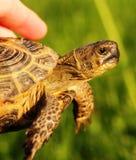 Eine Schildkröte Stockfoto