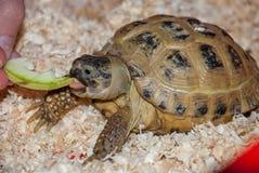 Eine Schildkröte des allgemeinen Landes isst ein Stück des Apfels in einem Sägemehl Stockbilder