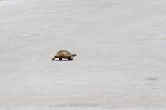 Eine Schildkröte, die eine Straße kreuzt Stockbild