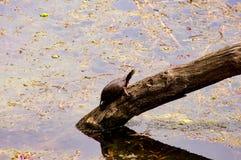 Eine Schildkröte, die herauskommt Stockfotos