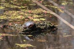 Eine Schildkröte in einem Teich auf einem Klotz mit seiner Reflexion im Wasser lizenzfreies stockfoto