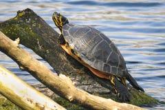Eine Schildkröte sonnt sich auf einem Baumast lizenzfreie stockbilder