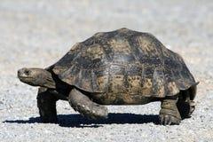 Eine Schildkröte von Südafrika Stockbilder