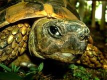 Eine Schildkröte, welche die Kamera betrachtet Lizenzfreies Stockfoto