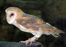 Eine Schleiereule am Neapel-Zoo Lizenzfreies Stockfoto