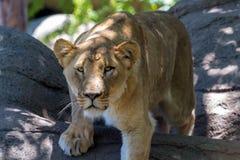Eine schöne weibliche afrikanische Löwin Lizenzfreie Stockfotografie