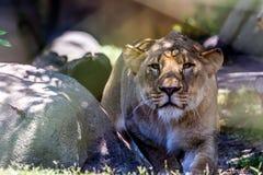 Eine schöne weibliche afrikanische Löwin Lizenzfreie Stockfotos